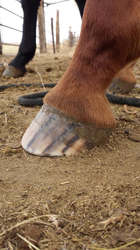 Barrel horse HPA